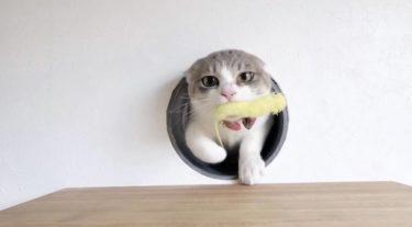 猫じゃらしが好きすぎるネコ 異物を飲み込んでしまった時の対処法