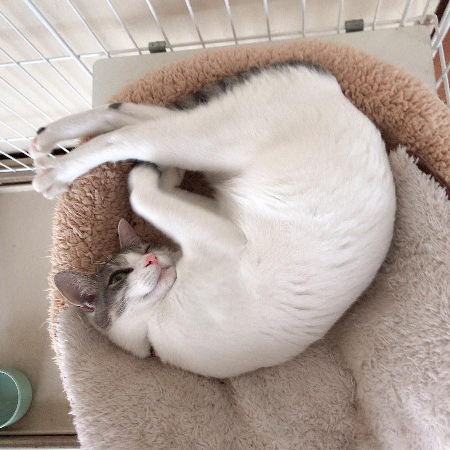 丸まり猫 リラックス猫 猫との暮らし