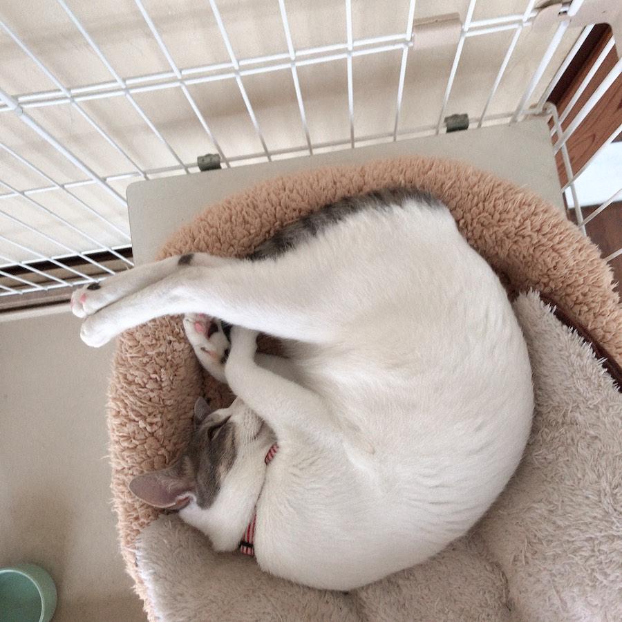 猫のいる生活 スヤスヤ猫